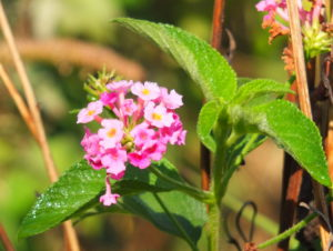 Pink Lantana with bug drinking the dewdrop