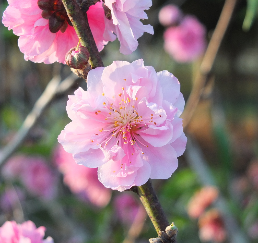 Peach Blossom in Early Morning ... in sync with the balance around us every day in naturePeach Blossom in Early Morning ... in sync with the balance around us every day in nature